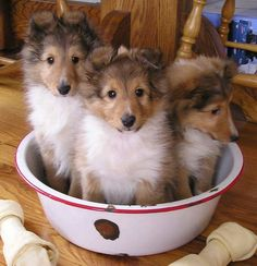 Collie pups.
