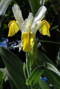 Bokharankurjenmiekka - Google-haku. Ei siedä talvimärkyyttä. Korpikankaalta. Irises, Google, Plants, Iris, Plant, Lilies, Planets, Irise
