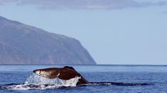 Whale watching Azores - The adventure playground of the Azores: this chain of nine islands spread across more than 600km in the Atlantic Ocean is finally getting the recognition it deserves, as both an emerging adventure travel destination and a place of pristine, singular beauty. Adventure, Azores, Portugal