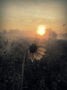 A sunflower awakening to the rising sun