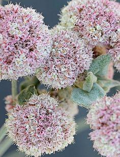 "Eriogonum latifolium ""Seaside Buckwheat"".  California native perennial plant, important for bees, butterflies, and other pollinators. Salt-, wind- and drought-tolerant. Deer resistant.  Sun.  Avg./No Summer Water. 1' x 2'.  Z 8-11."