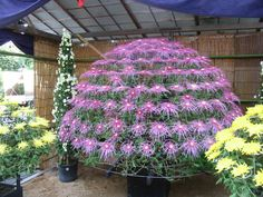 Chrysanthemum (this is one plant, trained to bloom in this shape)