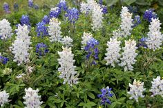 rare white bluebonnets Texas