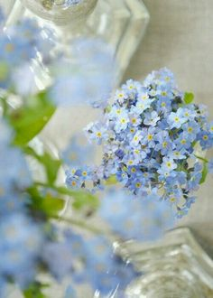 Pale Blue Forget Me Nots, periwinkle blue, pantone little boy blue Little Flowers, Blue Flowers, Beautiful Flowers, Forget Me Not Blue, White Anemone, Little Boy Blue, Black Eyed Susan, Spring Blooms, Lily Of The Valley