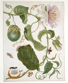 More work by Maria Sibylla Merian