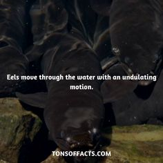 Eels move through the water with an undulating motion. Dolphin Facts, Whale Facts, Dinosaur Facts, Lion Facts, Tiger Facts, Cat Facts, Fun Facts About Animals, Animal Facts, Elephant Facts