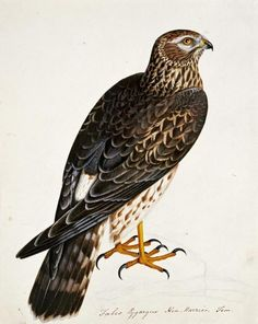 Falco Pygargus, Hen-Harrier, Fem by Atkinson, Rev. Christopher - Wall Art Giclee Print or Canvas
