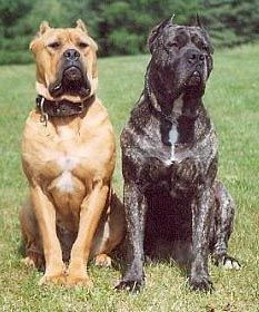 The Australian Bandog is Queensland born and bred,and originated at True Blue Kennels in Charleville. Originally bred in ancient times as big game hunters and security dogs. They have been used as war dogs,security,protection,hunting,night dogs and catch dogs