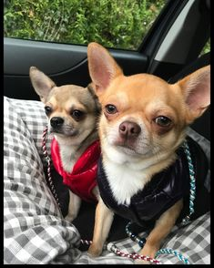 Look at these little darlings. Repost from: Instagram #dogs #chihuahua