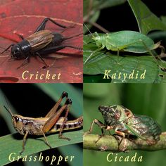 Insect musicians....Songs of Insects A Guide to the Voices of Crickets, Katydids & Cicadas