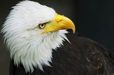 OUR NATIONAL BIRD~THE AMERICAN BALD EAGLE. ABSOLUTELY BEAUTIFUL!
