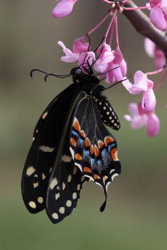 Black Swallowtail.