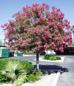 12 Best Client Project Evergreen Trees Shrubs With Pink Flowers