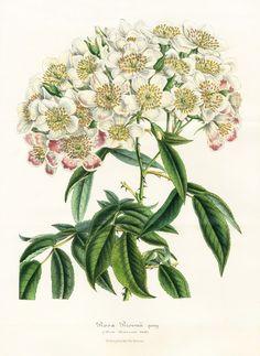 Rosa Brownii - Louis Van Houtte, Flore de Serres et des Jardins de l'Europe Botanical Prints 1851