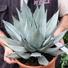 Agave parryi ssp. neomexicana (hardy to -10 in the uk, but need VERY well-drained soil)