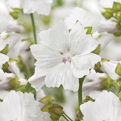Buy mallow white musk Malva moschata f. alba - A wonderful white-flowering form: approx 100 seeds: Delivery by Crocus Mallow Flower, Versace Bright Crystal, Rumble In The Jungle, Parfum Spray, White Roses, Aesthetic Wallpapers, Earthy, Things That Bounce, Crystals