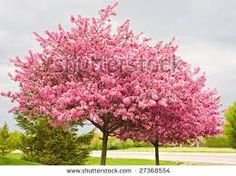 flowering pink trees - Google Search
