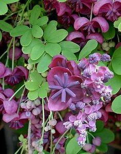 Chocolate vine fruit is edible.akebia_quinata_g Chocolate vine blossom. Chocolate vine fruit is edible. Vine Fruit, Purple Garden, Carnivorous Plants, White Orchids, Annual Plants, Container Flowers, How To Make Tea, Fruit Garden, Trees To Plant