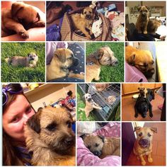 Cannot believe this little one has been part of the family for a whole year now!! Definitely been one of the best years!  #Sophie #BorderTerrier #Puppy #Collage #Love #Cute #Adorable #MyBestFriend #Family #CountryLife #UnconditionalLove #Perfection by vickyp_92
