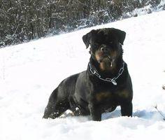 Rottweiler .jpg (960×816)
