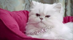 Close up Persian cat wearing diamond collar lying in pink cat bed - Cat Collar Best Designer Brands, F2 Savannah Cat, Pink Cat, Delicate Jewelry, Cat Collars, Beauty Editorial, Cat Gifts, Gift For Lover, Persian