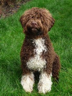 -Lagotto Romagnolo, life expectancy 17 years max, average 16, Rare Breed in the USA, Italian Truffle dogs bred only for the purpose of seeking out truffles.