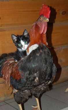 Look at this cat riding a rooster.