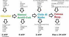 Formula respirazione cellulare