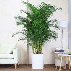 5 Pcs Chrysalidocarpus Lutescens plant Home Decoration Areca Palm plant Indoor Plants Butterfly Palm Bonsai Plants Germination time: daysFor germination temperature: Bamboo Seeds, Bamboo In Pots, Potted Bamboo, Indoor Palm Trees, Indoor Palms, Artificial Indoor Plants, House Plants Decor, Plant Decor, Areca Palm Plant