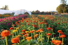 SUCCESSION PLANTING: HOW TO KEEP THE HARVEST GOING ALL SEASON LONG -Floret Flowers