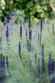 Harmonie de bleu, esprit minimaliste : Stipa Tenuissima, Salvia Nemorosa Caradonna et Nepeta