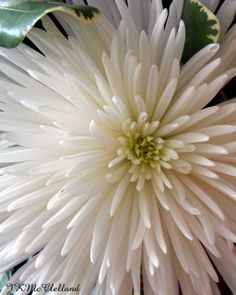 White chrysanthemum would be so striking in an arrangement...great cut flower
