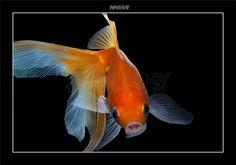 названия аквариумных рыбок с фотографиями - Поиск в Google