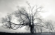 big old maple tree | Awe-Inspiring Trees (9): The Comfort Maple, Pelham, Ontario