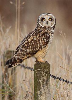 ☀Short-eared owl oct 15 by harrybursell on Flickr*
