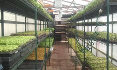 Microgreens - Fitting a lot of product into a small space.