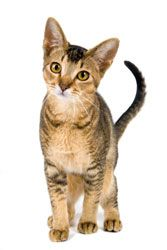 Read the veterinarian-written article Anemia in Cats here.