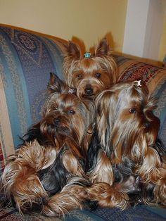 Phoebe, Raffles, Nena #yorkie #yorkshireterrier #cutedogs
