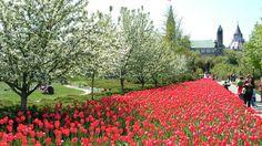 Ottawa - Tulip Festival