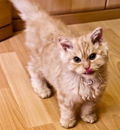 Poodle cats could be the new rage for feline fans. 25 yrs. of breeding has resulted in a new breed of curly haired cat called The Selkirk Rex // Photo via Web