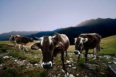 Mucche in alpeggio