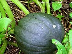 Planting Acorn Squash - A How-To Guide