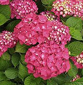 growing and pruning hydrangeas   great information