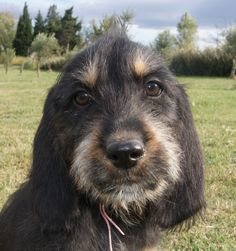 Desktop wallpapers Griffon Nivernais dog face - photos in high quality and resolution Unique Dog Breeds, Rare Dog Breeds, Popular Dog Breeds, I Love Dogs, Cute Dogs, Griffon Nivernais, What Kind Of Dog, Wire Haired Dachshund, Face Photo