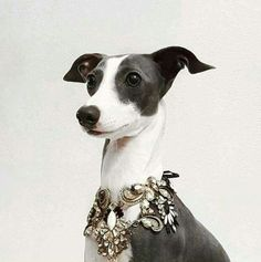 Wow! Italian Greyhound Puppies, Greyhound Art, Italian Dogs, Electric Dog Collar, Dog Expressions, Dog Shots, Dog Shock Collar, Whippet Dog, Lurcher