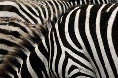 Zebra wallpaper design Zebra Wallpaper, Textured Wallpaper, Zebra Print Walls, Tapestry Wall Hanging, Outdoor Walls, Designer Wallpaper, Throw Pillows, Throw Blankets