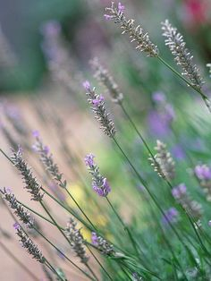 Lavender is rabbit resistant.  Zones 5-8, prefers full sun and well-drained soil.  1-2 ft. tall.
