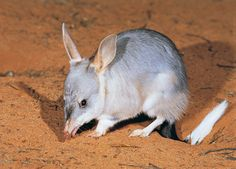 The bilby is an endangered Australian marsupial. Nocturnal Animals, Rare Animals, Small Animals, Exotic Animals, Unusual Animals, Easter Bilby, Kangaroo Jack, Aboriginal Language, Pc Hp