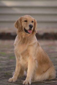 Beautiful Golden Retriever #goldenretrievers #pets http://www.nojigoji.com.au/