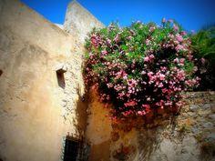 Pink azalea Corsica, Pink, Roses